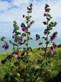 malvaceae species - Jenny&Mark