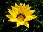 Yellow Flower –Julie