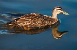 John Vidgeon - Duck Reflection
