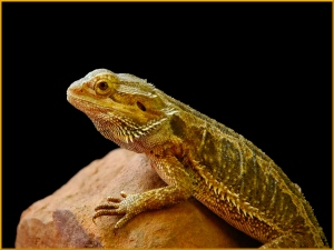 Bearded Dragon - Helen Whitford