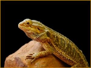 Bearded Dragon - Helen Whitford