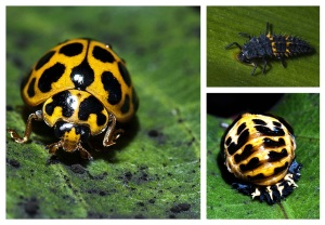 3 stages of a ladybug - Jo Tabe