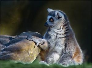 Lemur - John Vidgeon