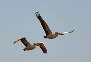 Two Pelicans 2 - Eric Budworth