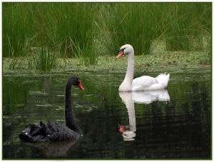 Swan lake - Theo Prucha (open)
