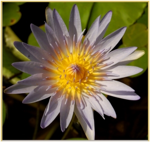 African waterlily - Ursula Prucha - (open)