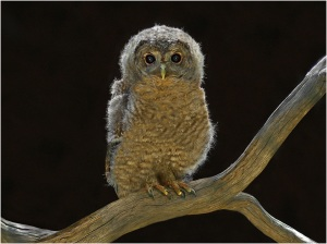 Young Owl - John Vidgeon