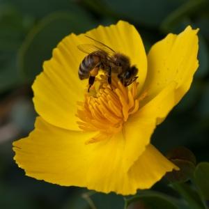 Bee on Yellow - Chris Schultz