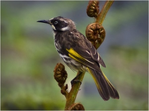 New Holland Honeyeater - John Vidgeon