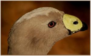 Ursula Prucha - Cape barren goose (open)