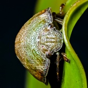 Leaf Beetle - Chris Schultz