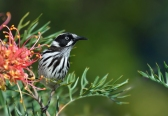 Honeyeater - Helen Whitford
