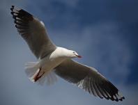 Seagull - James Allan