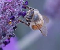 Busy Bee - Yvonne Sears