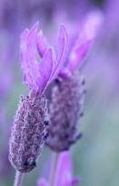 The colour purple - Yvonne Sears