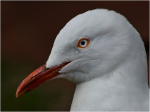 John Vidgeon - Gull Portrait - (Colour prints -Open)