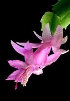 Helen Whitford_Dewy Cactus