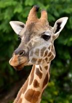 Helen Whitford_Giraffe Portrait