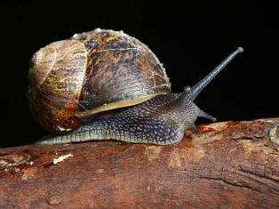 James Allan_Garden Snail