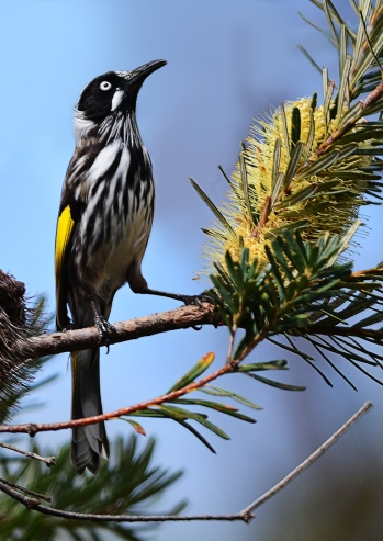 James Allan_NH Honeyeater