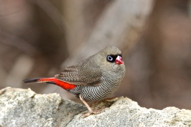 Heather Connolly_Beautiful Firetail_Open