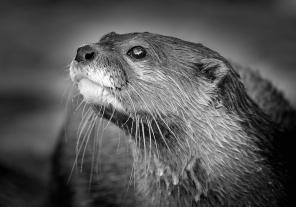 3rd - Helen Whitford_Otter