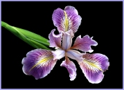 Merit: Kerry Malec - Pacific Coast Iris