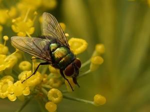 Howard Seaman - Diptera - Open (Projected)