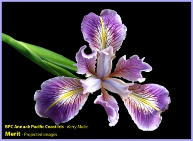 [21] Kerry Malec - Pacific Coast Iris (Merit)