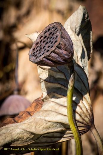 [24] Chris Schultz - Sacred lotus dessicated
