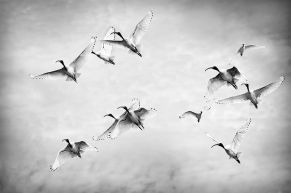 Alberto Giurelli - Flight of the Ibis