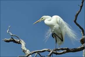 Helen Whitford - Egret Poised
