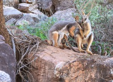 David Hope - Rock Wallaby Family