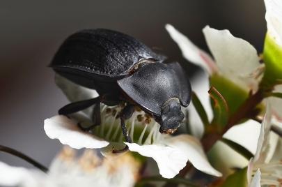 James Allan - Black Beetle in Ti Tree - Colour