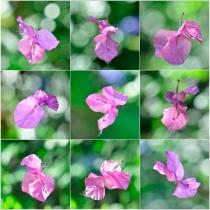 Helen Whitford - Bougainvillea Butterfly Dance - Colour (open)