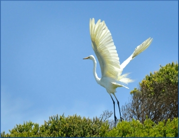 Helen Whitford - Egret Take Off - Open