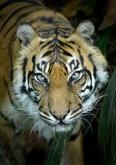 Helen Whitford - Tiger Tiger - Colour (Open)