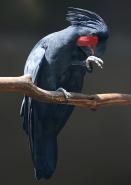 James Allan - Palm Cockatoo - Colour (open)
