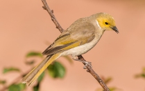Ron Hassan - white plumed honey eater - open