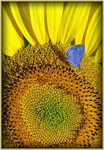 Blue Moth on Sunflower - Ursula Prucha