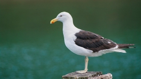 Steve Walace - Pacific Gull