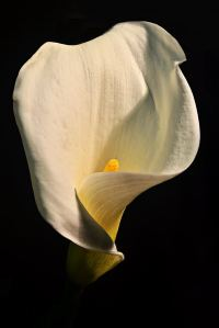 james-allan-arum-lilly