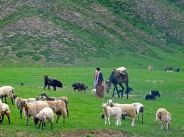 jenny-pedlar-moving-the-herd