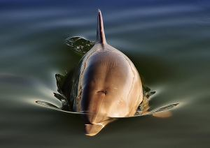 Port River Dolphin - James Allan