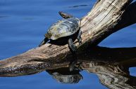 Turtle on a Log - James Allan
