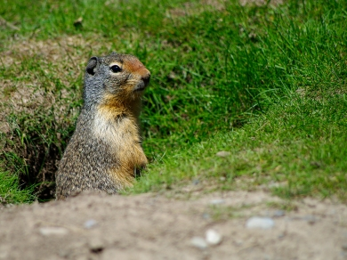 Columbian Ground Squirrel - Steve Wallace