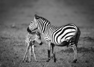 Zebra and Young - James Allan