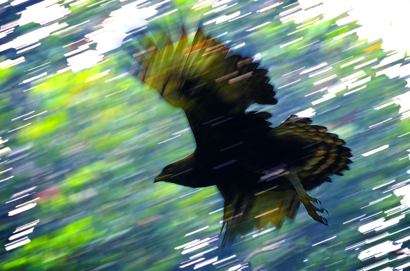 James Allan - Long Crested Eagle