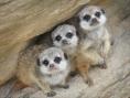 Three Little Kittens - Helen Whitford
