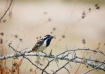 Spot Flanked Barbet - James Allan